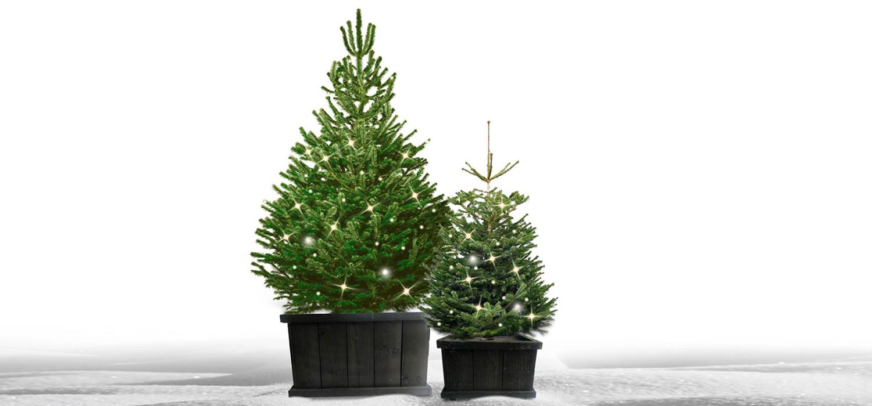 Nordmann kerstboom in kist met verlichting voor buiten bestellen in Sassenheim